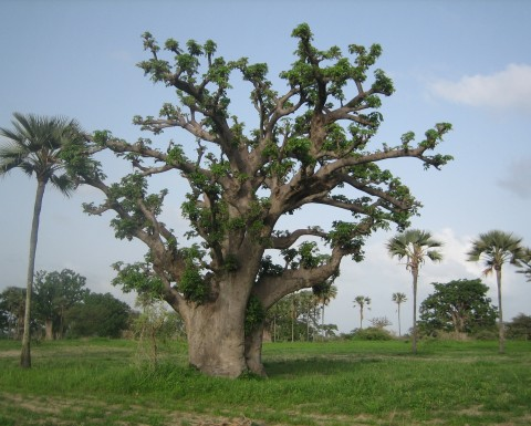Casamance ecoparc ecofund for Arbre qui pousse tres vite